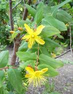 Image of <i>Hypericum grandifolium</i> Choisy