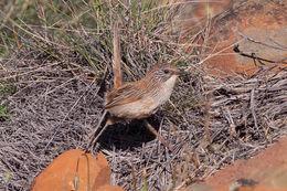 Image of Short-tailed Grasswren