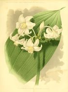 Image of <i>Eucharis candida</i> Planch. & Linden