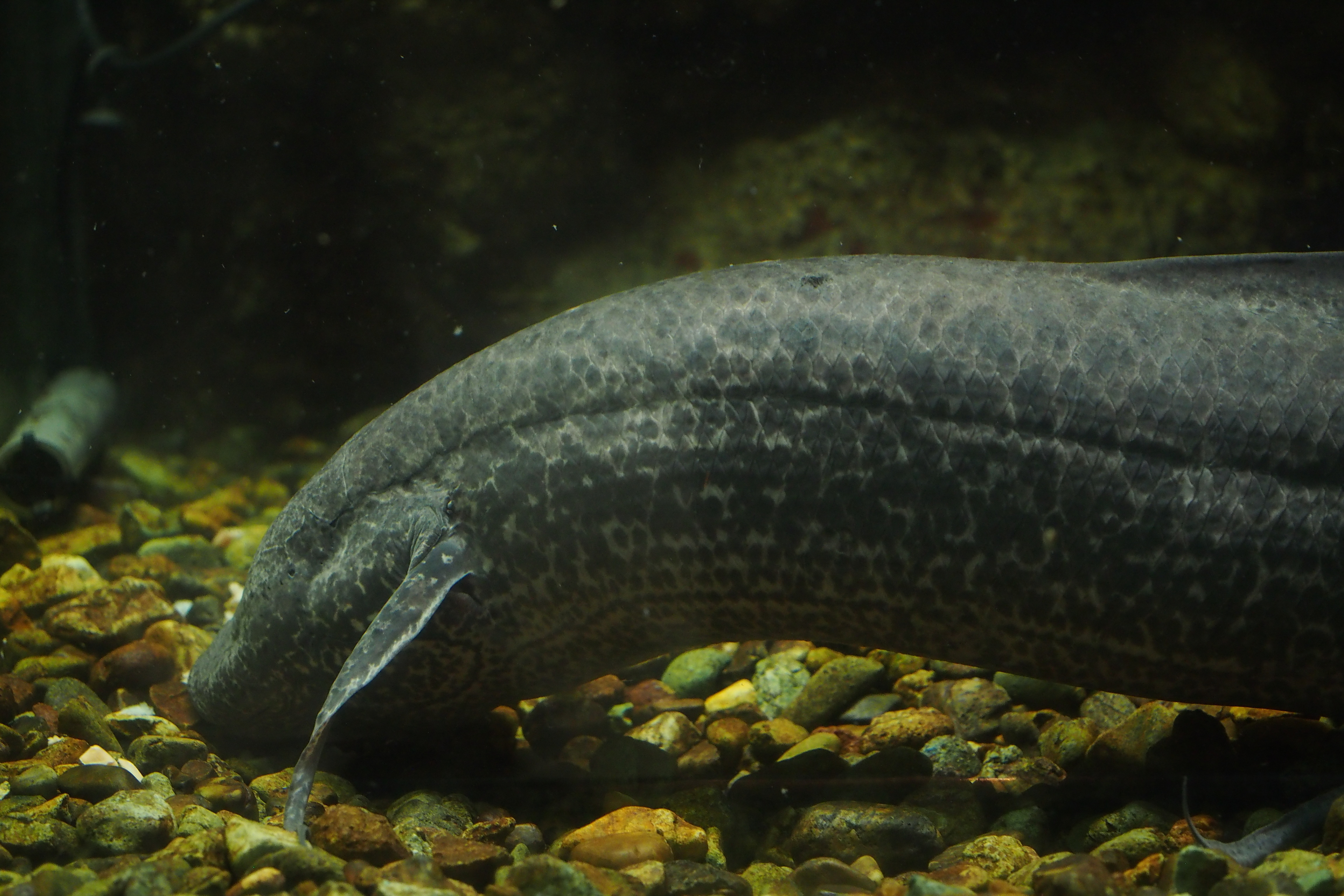 Image of Marbled lungfish