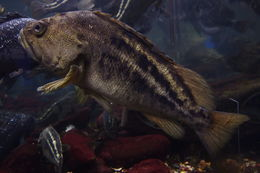 Image of Threestripe rockfish