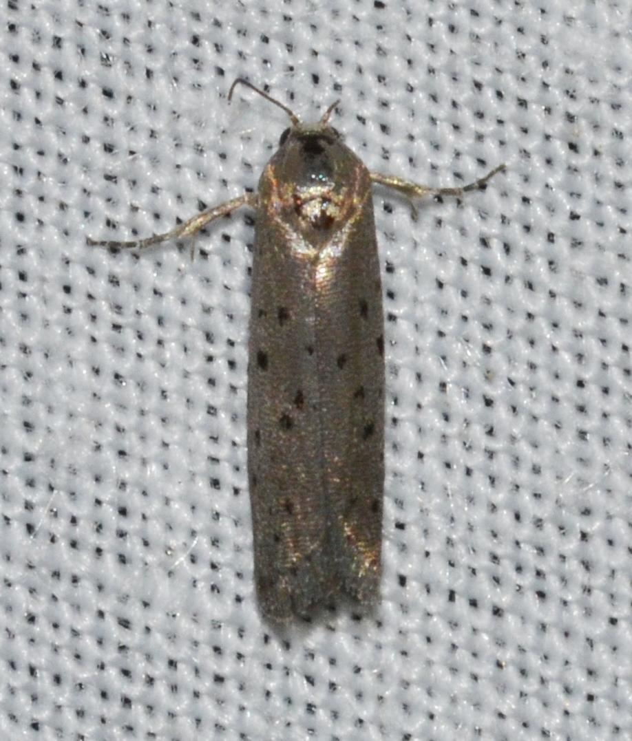 Image of Mimosa Webworm Moth