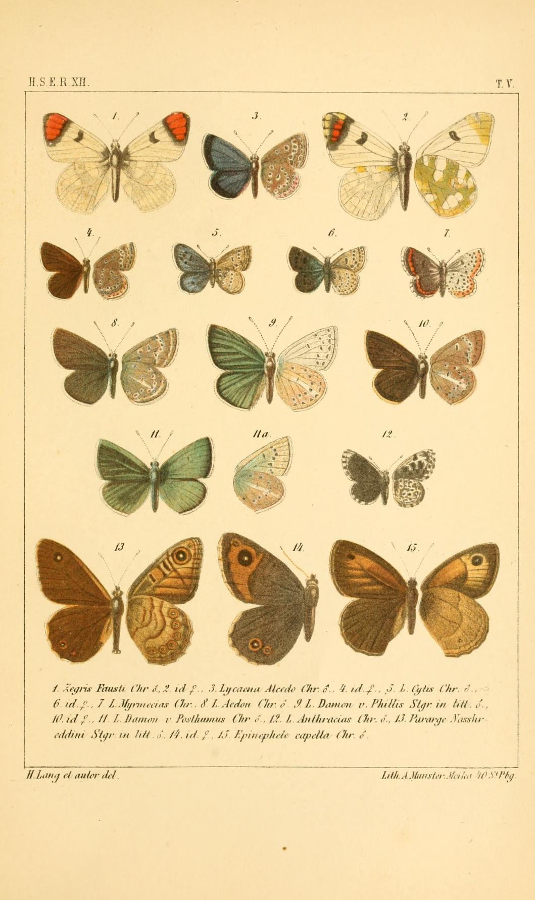 Image of <i>Agrodiaetus aedon</i> Chris.