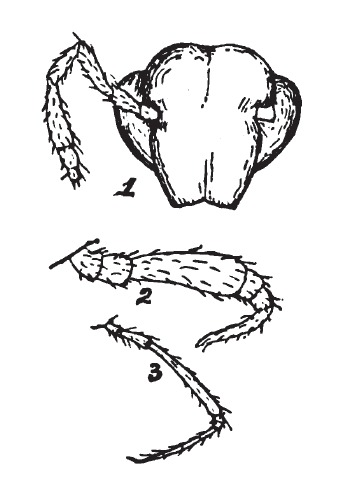 Image of Trichopetalum