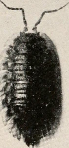 Image of Oniscus