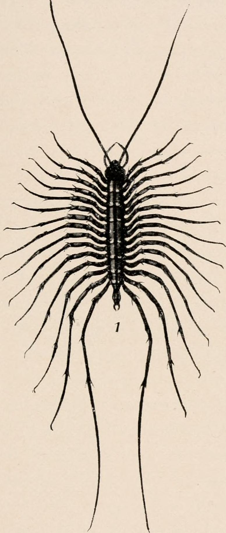 Image of Scutigera