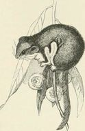 Image of Feather-tailed Glider