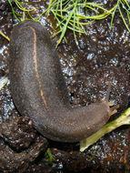 Image of <i>Laevicaulis alte</i>