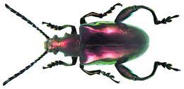 Image of frog beetles