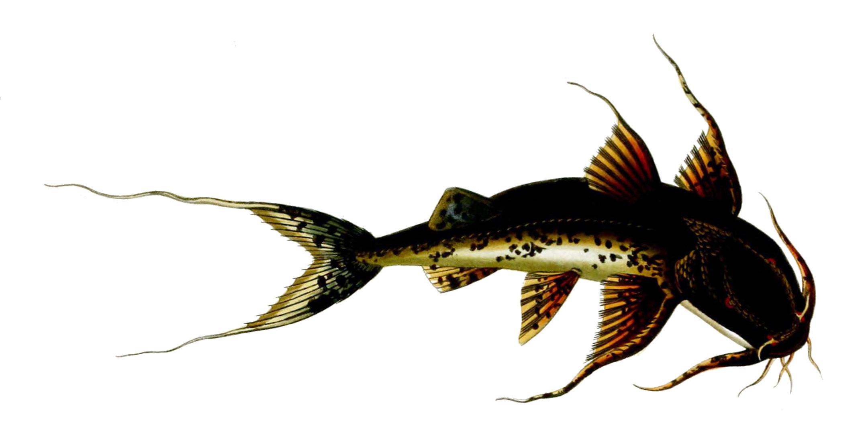 Image of Goonch Catfish