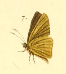 Image of <i>Parnara naso</i> Fabricius 1798