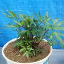 Image of <i>Angelica acutiloba</i> (Sieb. & Zucc.) Kitag.