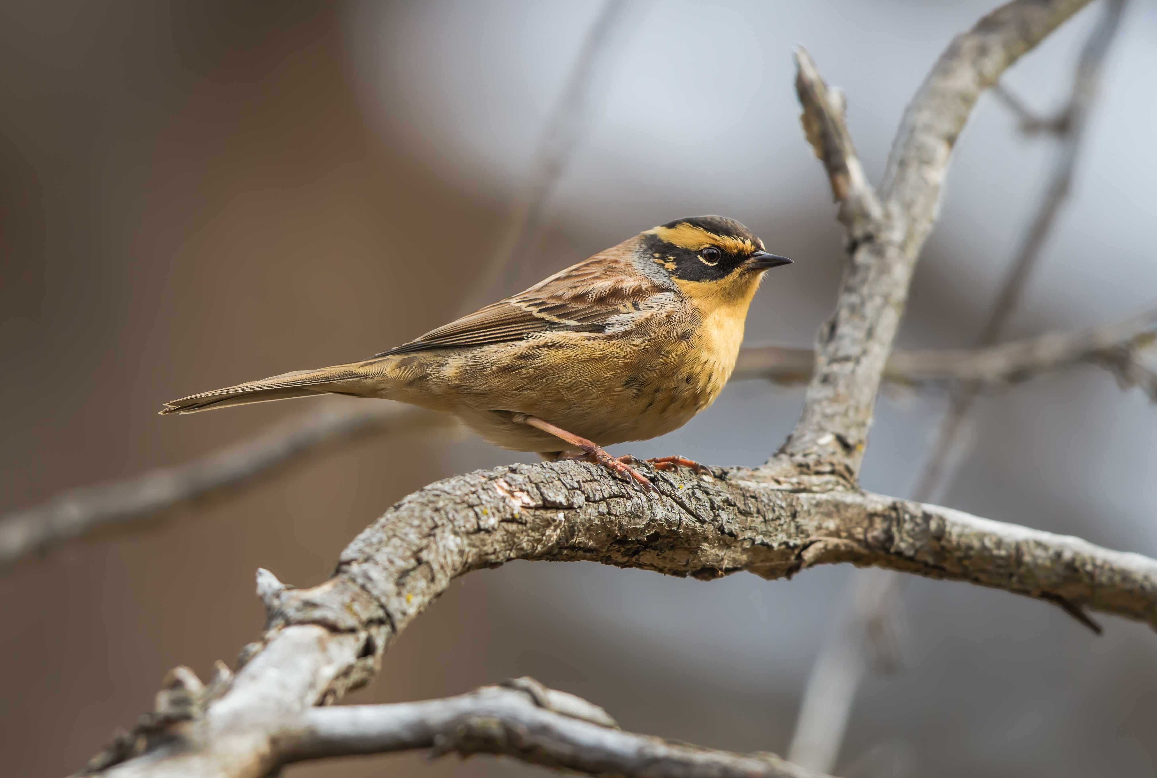 Image of Siberian accentor
