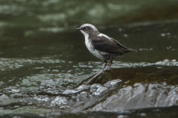 Image of White-capped Dipper