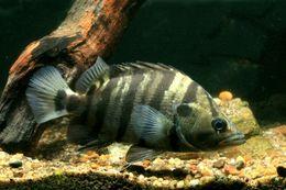 Image of Silver Tiger fish