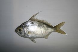 Image of Flagfin Mojarra