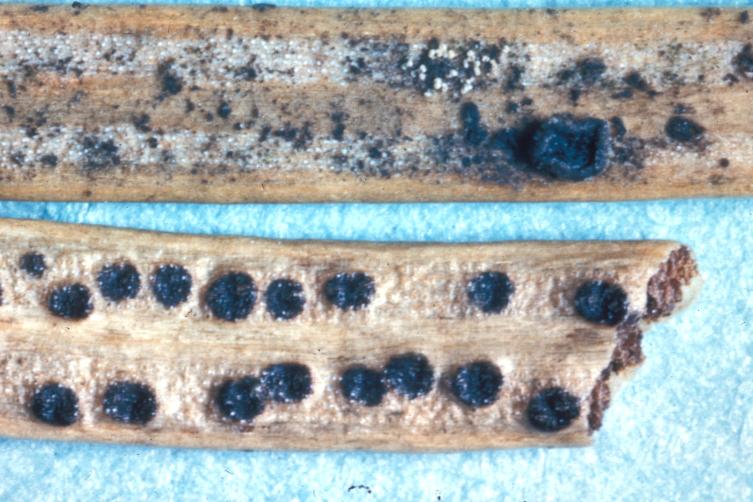 Image of <i>Phacidium infestans</i>