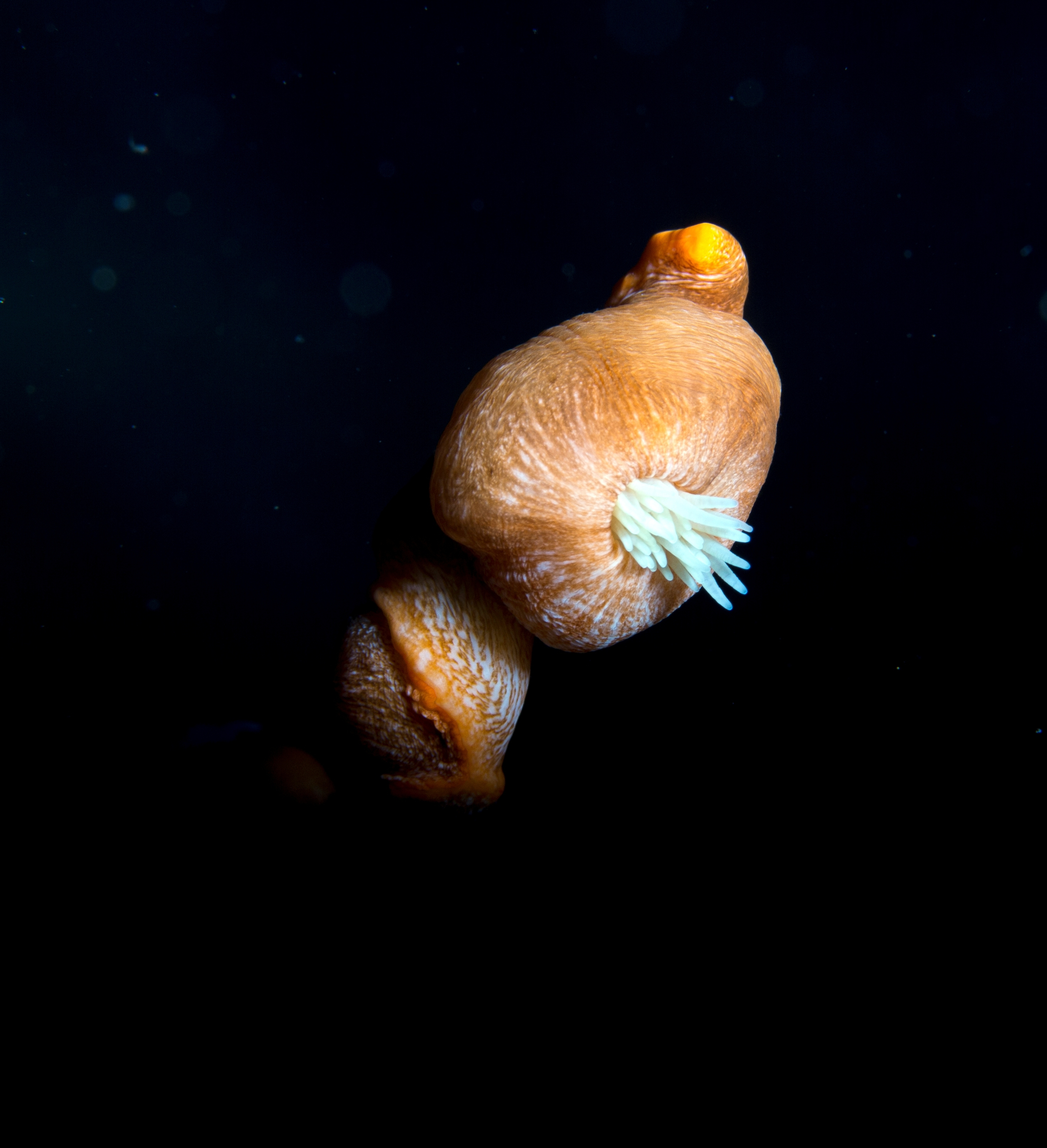 Image of Colonial Anemone