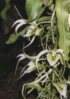 Image of Erasanthe