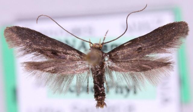 Image of Parametriotinae