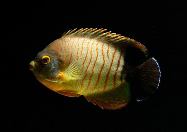 Image of Blacktail Angelfish