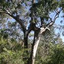 Image of <i>Eucalyptus michaeliana</i> Blakely