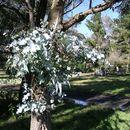 Image of <i>Eucalyptus nova-anglica</i> Deane & Maiden