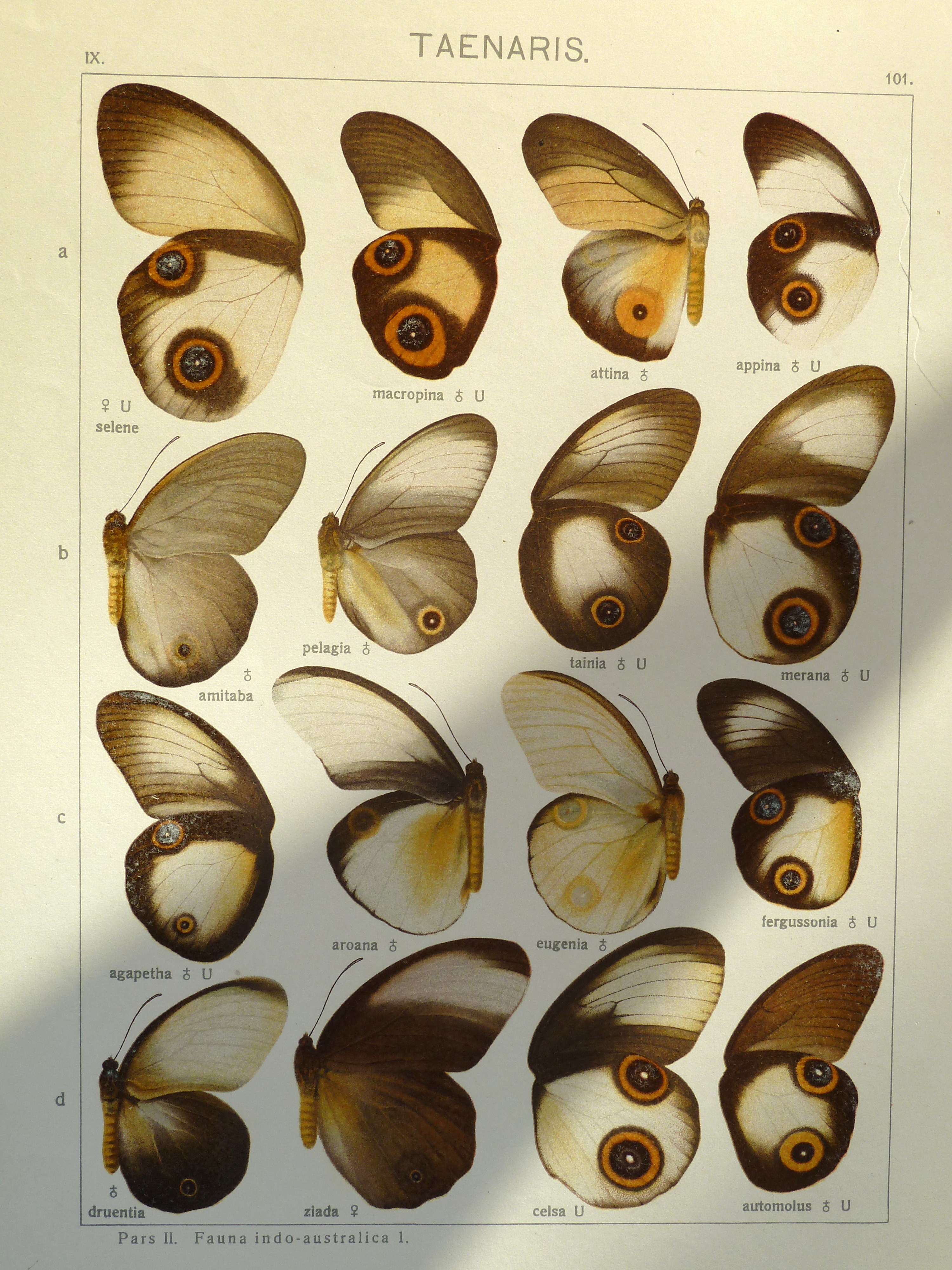 Image of <i>Taenaris myops</i> Felder 1860