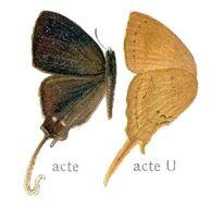 Image of <i>Ticherra acte</i> (Moore (1858))