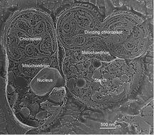 Image of <i>Cyanidioschyzon merolae</i>