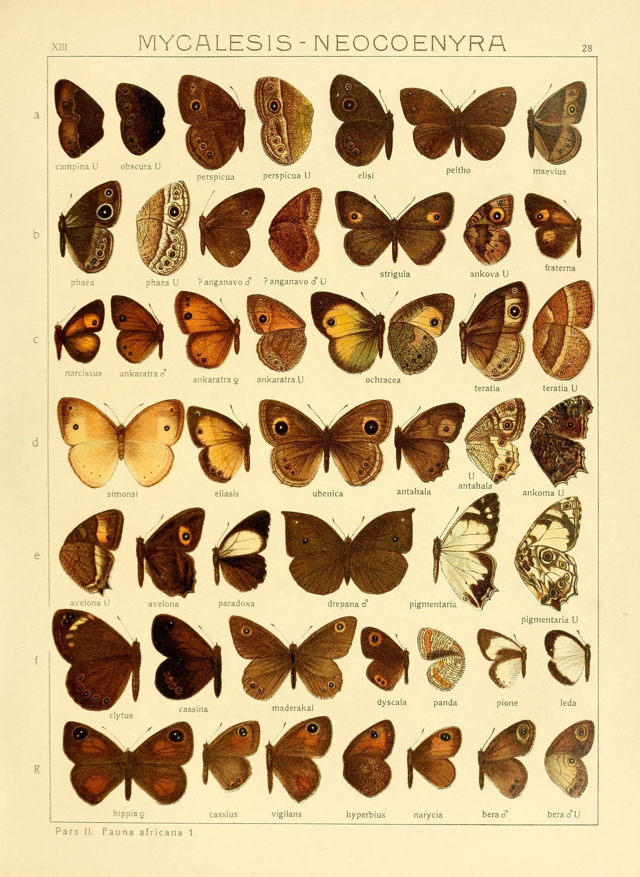 Image of <i>Henotesia ankaratra</i> Ward 1870