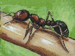 Image of Fire Ants and Thief Ants