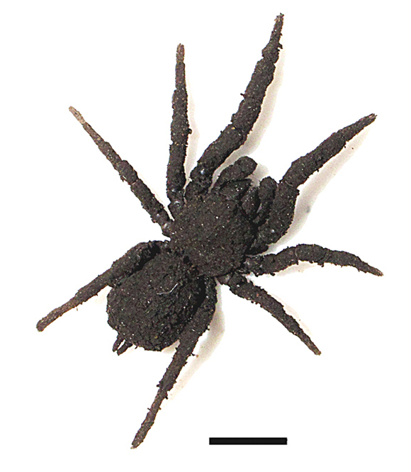 Image of <i>Paratropis tuxtlensis</i> Valdez-Mondragón, Mendoza & Francke 2014