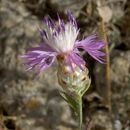 Image of <i>Centaurea alba</i> L.