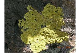 Image of Pleopsidium