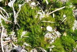 Image of campylopus moss