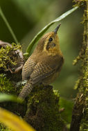 Image of Mountain Wren