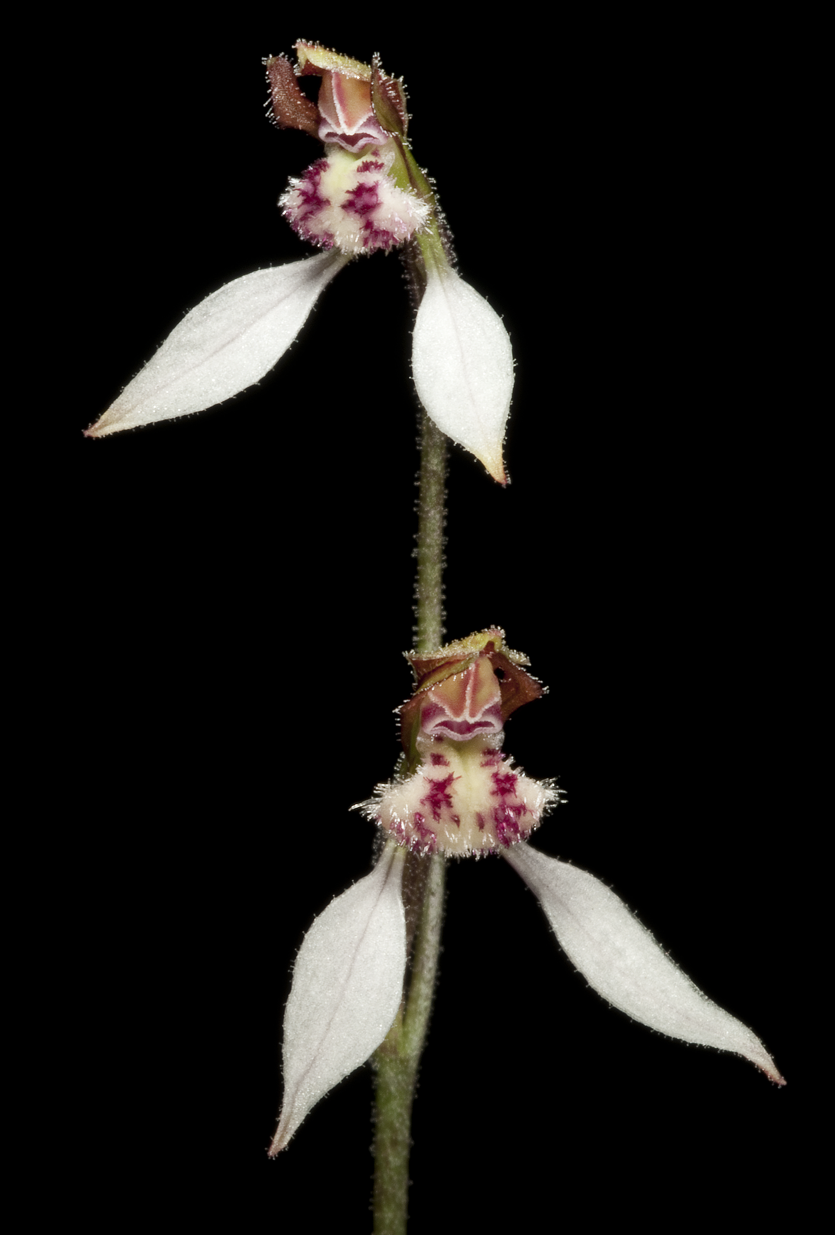 Image of Bunny orchids