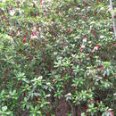 Image of Taiwanese photinia