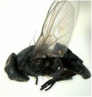 Image of Ophiomyia