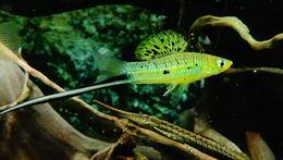 Image of Whiptail Catfish