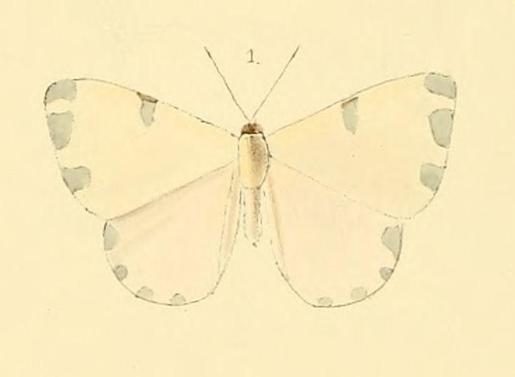 Image of <i>Hermathena candidata</i> Hewitson 1874