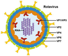 Image of Rotavirus