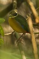 Image of Mangrove Pitta
