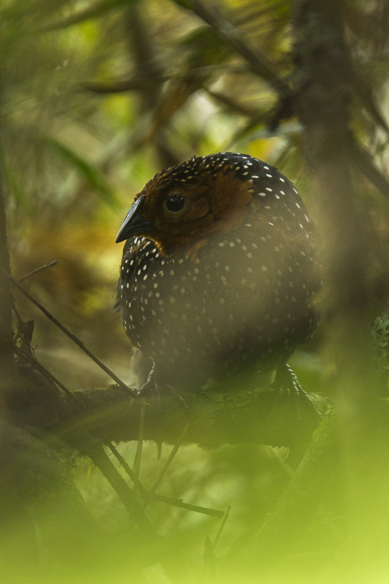 Image of Ocellated Tapaculo