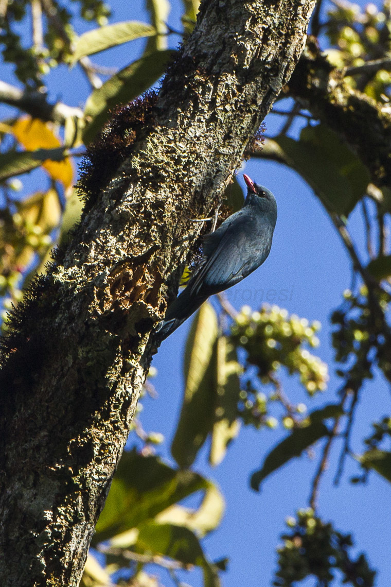 Image of Coral-billed Nuthatch-Vanga
