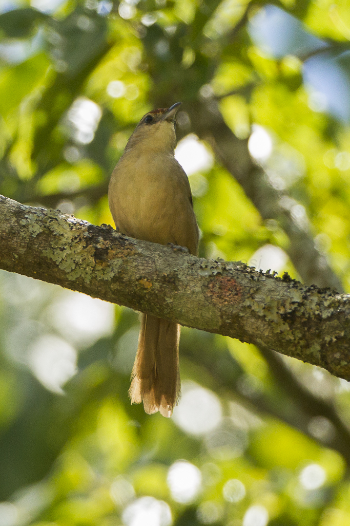 Image of Rufous-fronted Thornbird