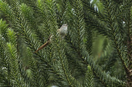Image of Araucaria Tit-Spinetail