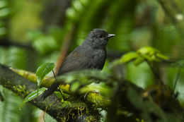 Image of Long-tailed Tapaculo