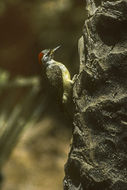 Image of Fine-spotted Woodpecker